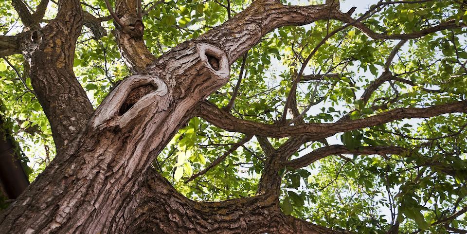 Big tree TCM